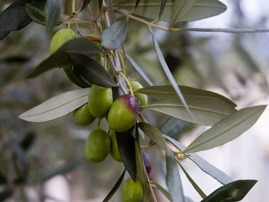 100% Natural Olives