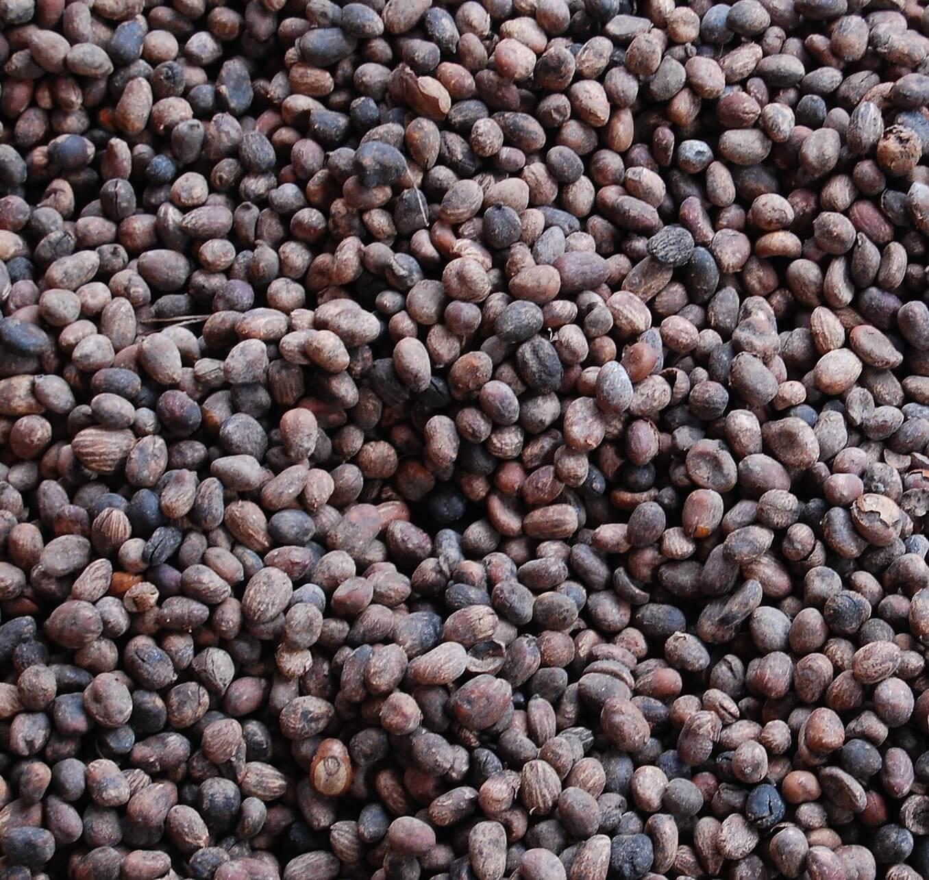 100% Natural Shea Nuts